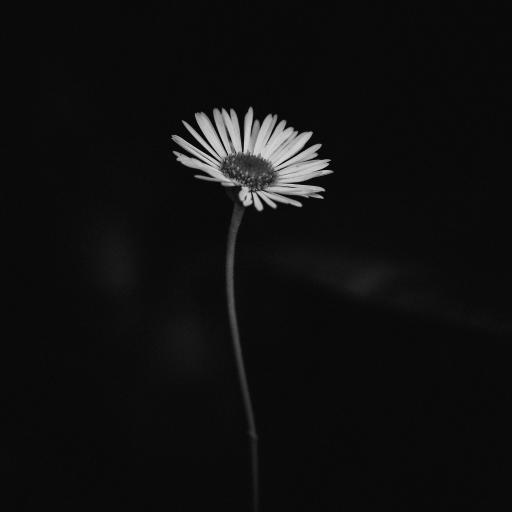雏菊 鲜花  特写 暗黑