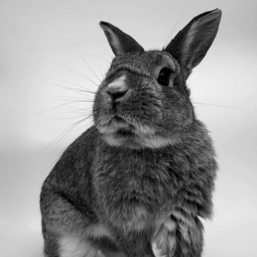 兔子 可爱 萌 黑灰 宠物