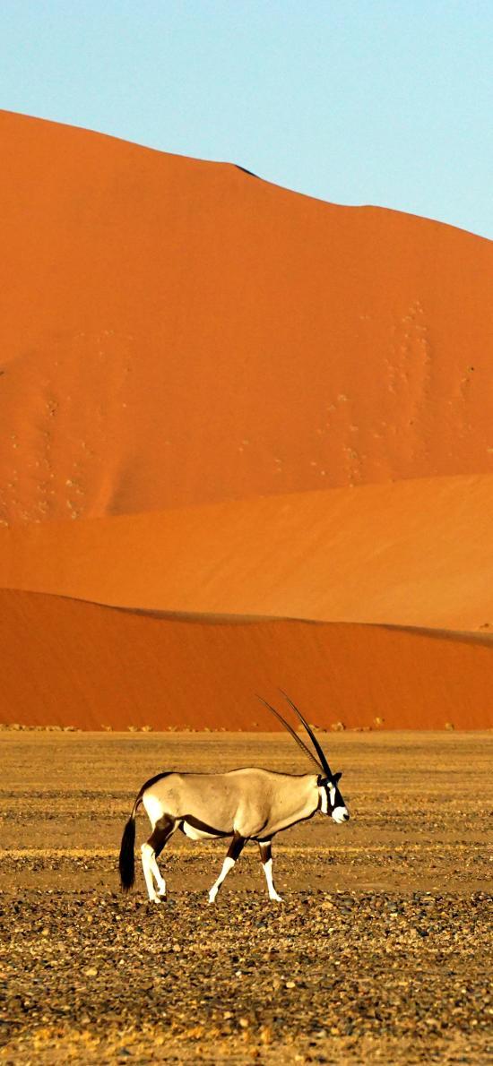 非洲 沙漠 大羚羊