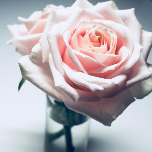 玫瑰 花瓣 盛开 鲜花