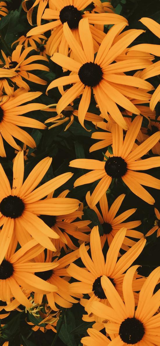 鲜花 盛开 菊花  植物 密集