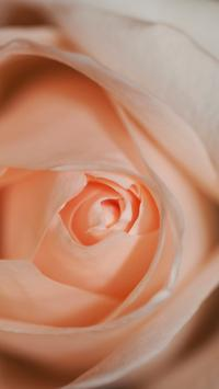玫瑰 鲜花 粉色 特写 花瓣