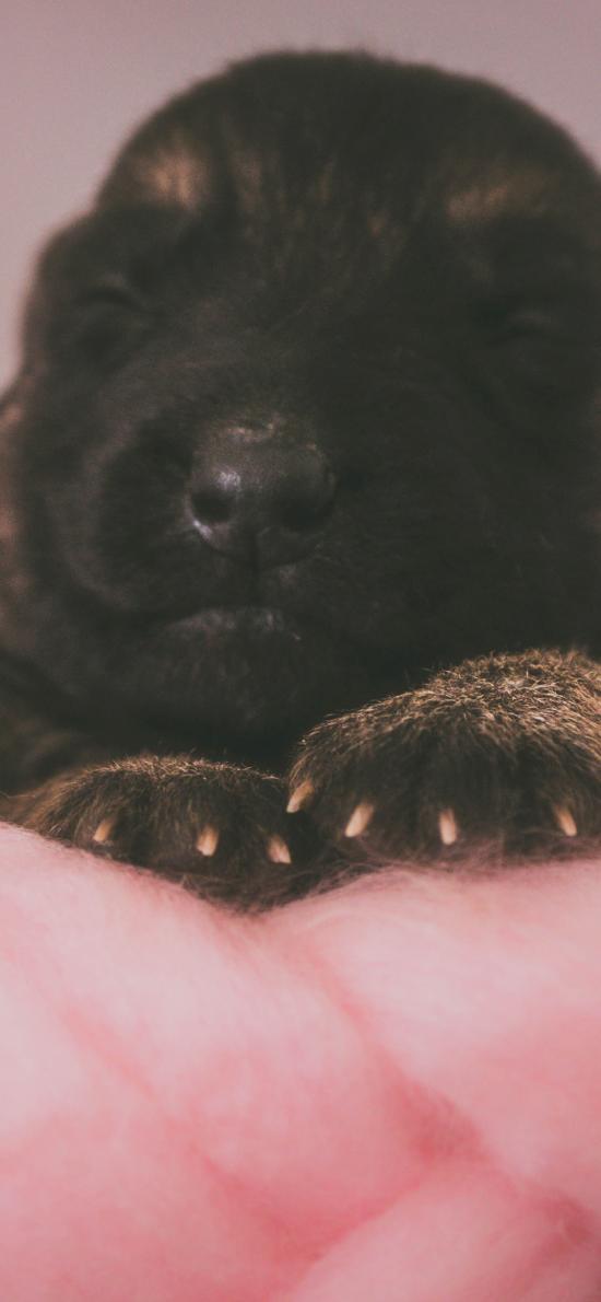 小奶狗 宠物 幼犬 黑色