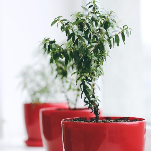 盆栽 花盆 枝叶 观赏性