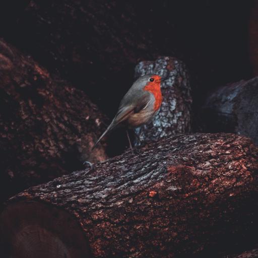 红胸鸟 知更鸟 小鸟 枝头 树干