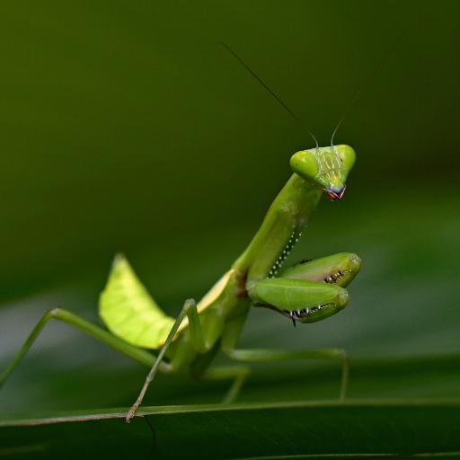昆虫 螳螂 镰刀 功夫