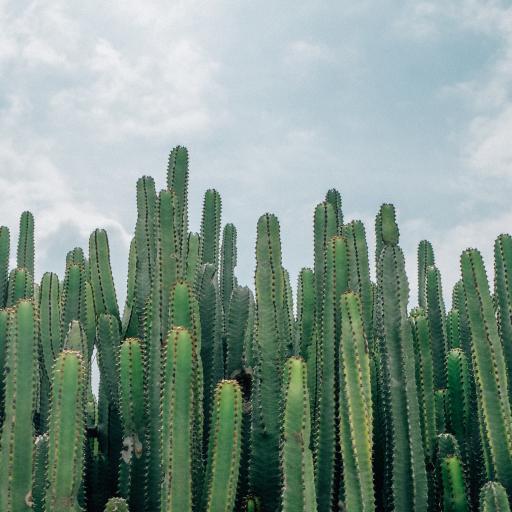 龙神柱 仙人掌科 绿植