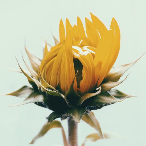 花苞 菊花 向日葵 植物