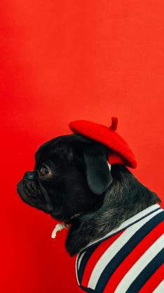 宠物 可爱 斗牛 小红帽