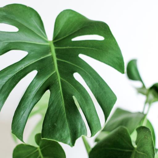 龟背竹 绿叶 观赏性植物
