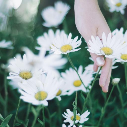 草地 白色小雏菊 野花 纯洁