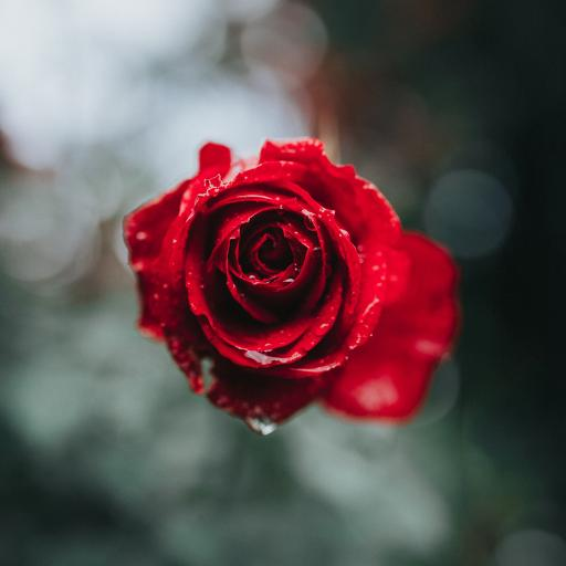 鲜花 玫瑰 露珠 娇嫩