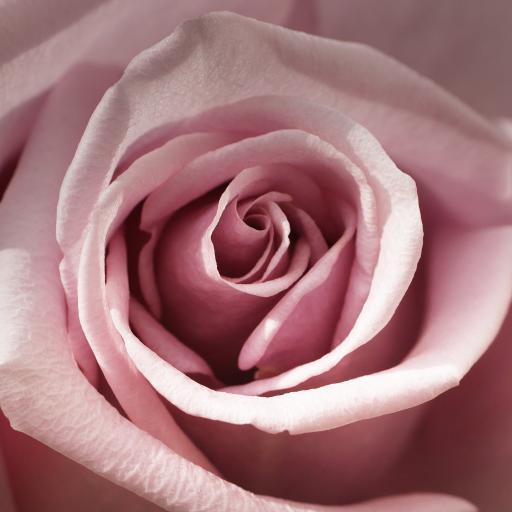 玫瑰 鲜花 花瓣 粉色 盛开