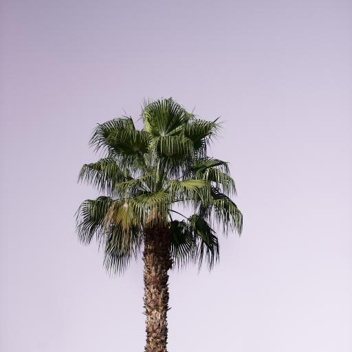 椰树王 树木 天空 耸立