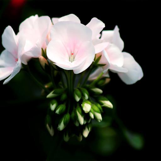 鲜花 仙粉 盛开 花蕊