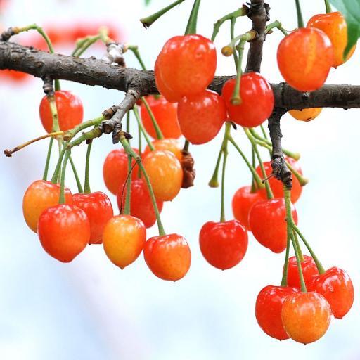樱桃 树枝 露珠 水果