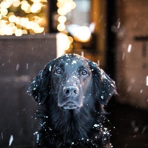 拉布拉多 宠物 黑 雪季 下雪