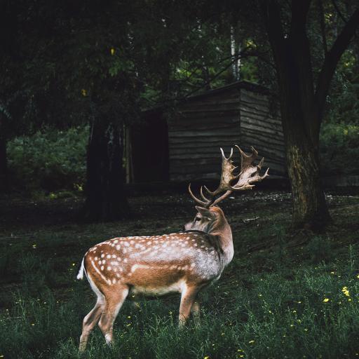 黇鹿 鹿角 草地 野外