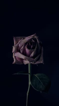 玫瑰 盛开 黑暗 特写