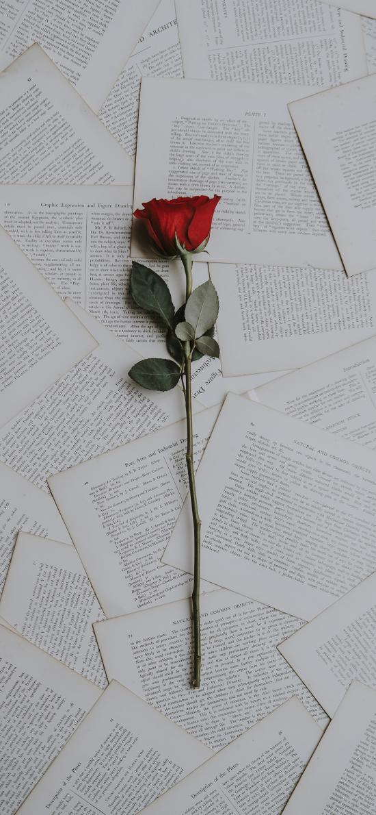 书页 平铺 鲜花 红玫瑰
