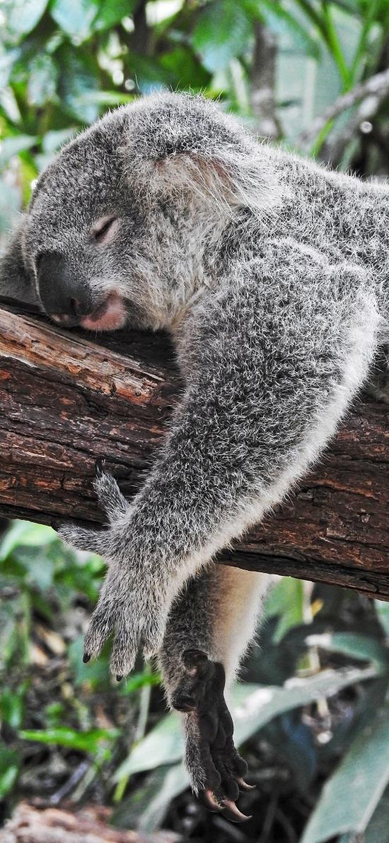 澳大利亚 国宝 考拉 睡觉