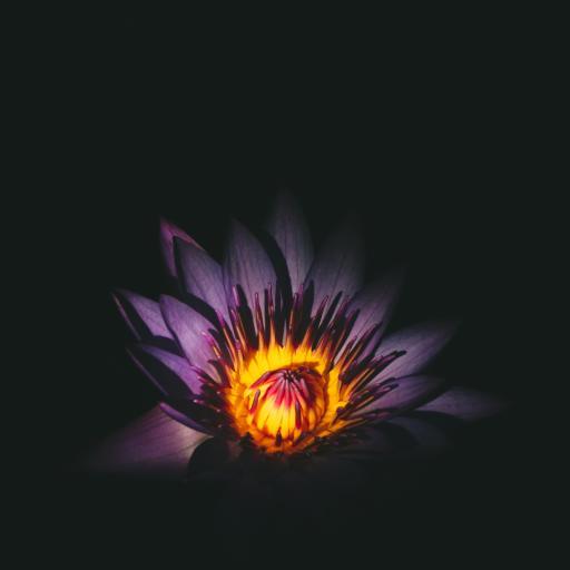 草本植物 延药睡莲 暗黑 特写