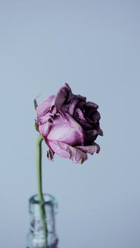 玫瑰 枯萎 花朵 萎靡