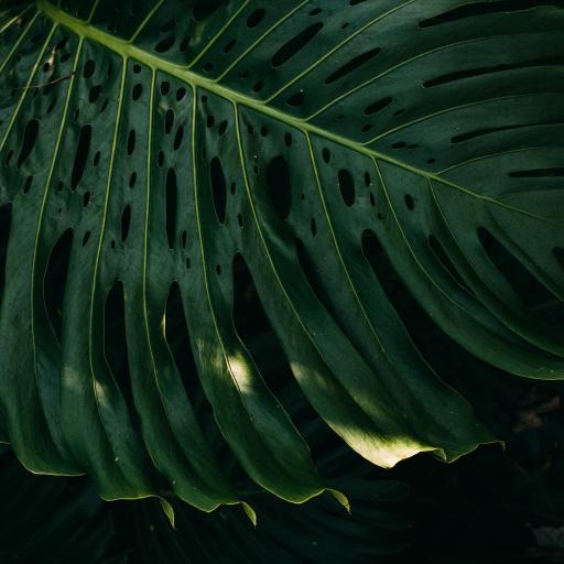 龟背竹 绿植 绿叶 盆栽