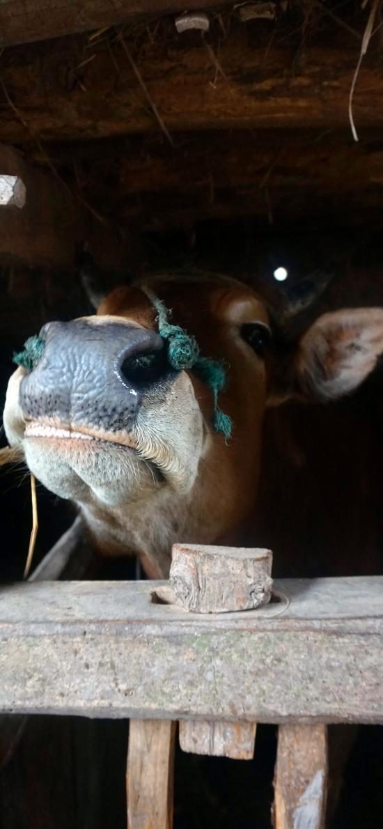 牛 拴住 饲养 栅栏