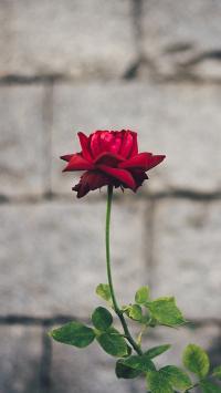 鲜花 玫瑰 枝叶 盛开