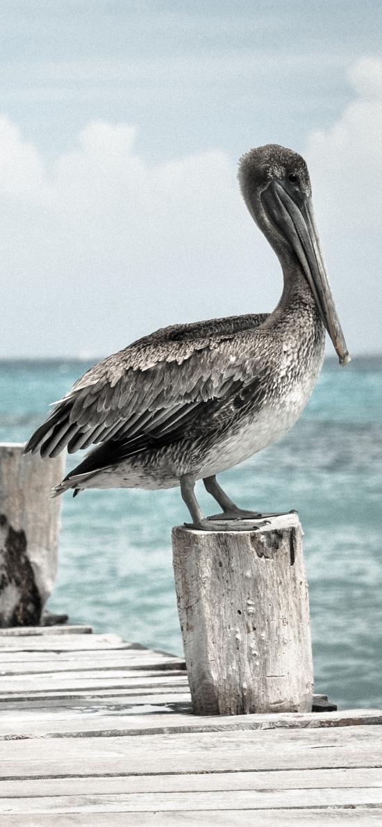 海边 鹈鹕 栖息 木栈道 水禽