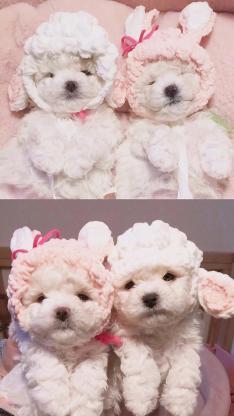 宠物狗 泰迪 白色 萌