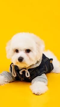 泰迪 犬 狗 汪星人 黄色 可爱 萌 宠物
