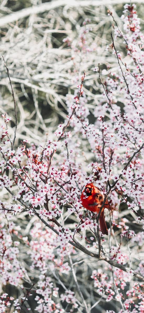 梅花 飞鸟 北美红雀 栖息