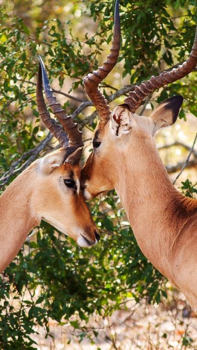 羚羊 户外 羊角 树叶