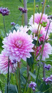 大丽花 鲜花 盛开 观赏花