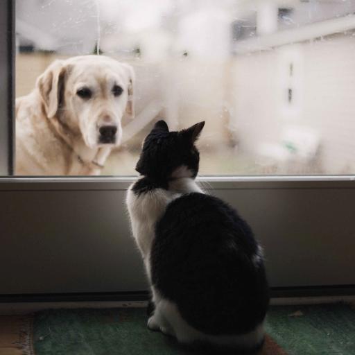 宠物 拉布拉多犬 猫咪
