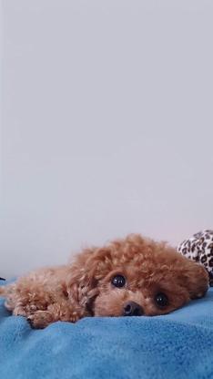 宠物狗 泰迪犬 可爱 大眼睛