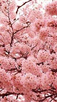 樱花 粉色 春天 浪漫 枝干