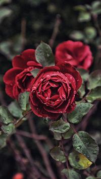 鲜花 蔷薇 红花 露珠