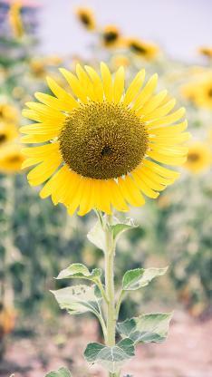 向日葵 鲜花 盛开 葵花
