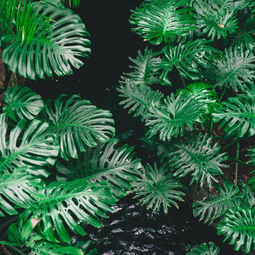 龟背竹 绿植 绿叶