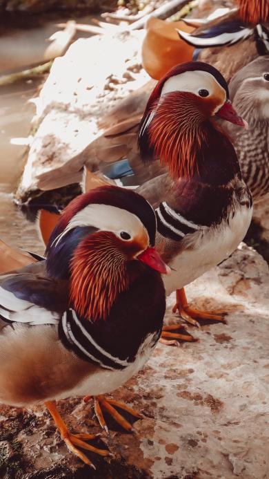 鸳鸯 站立 羽毛 官鸭