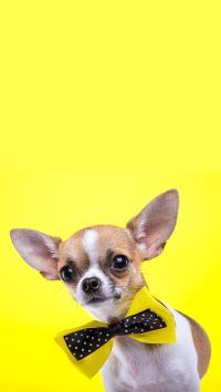 吉娃娃 狗 蝴蝶结 黄色 汪星人 可爱 宠物 萌
