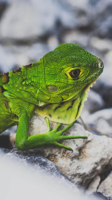 爬行动物 蜥蜴 绿色