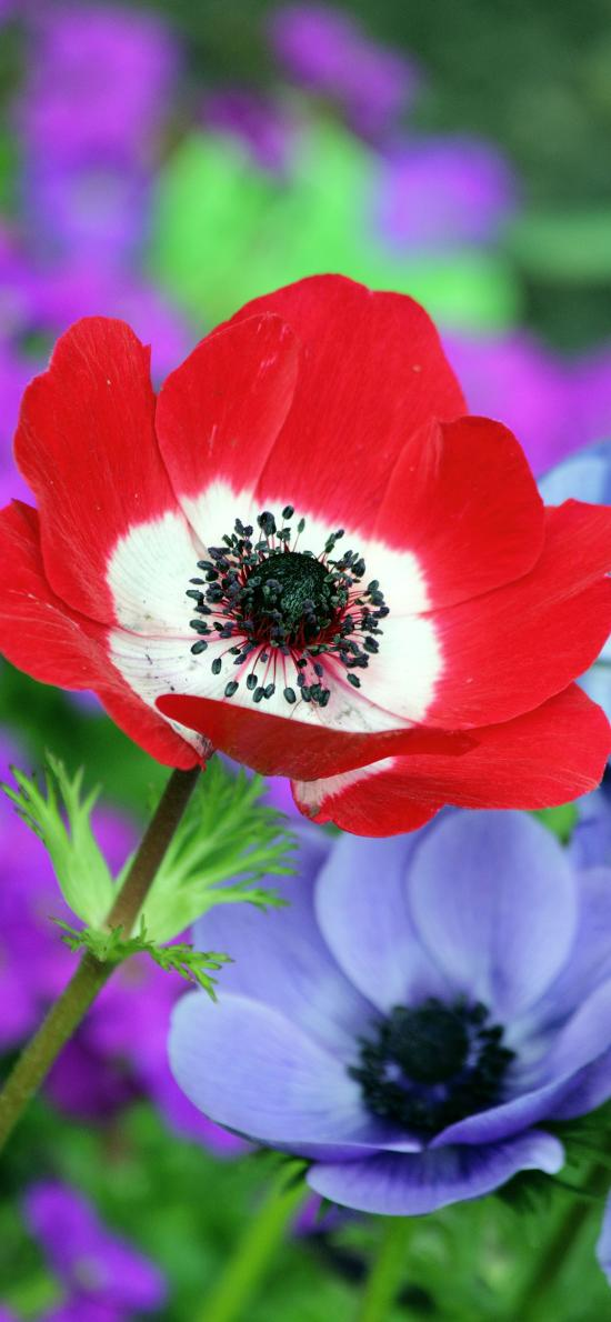 罂粟 花朵 花蕊 花瓣