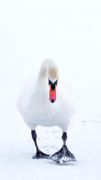 鸭子 雪地 白色 家禽
