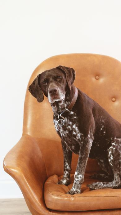 狗 宠物 沙发 长耳