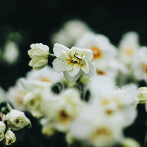 盛开 花瓣 鲜花 鲜花 白花