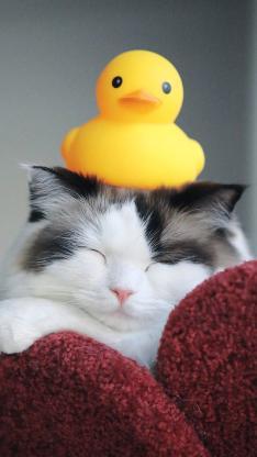猫咪 可爱 小黄鸭 橡胶鸭 喵星人 宠物